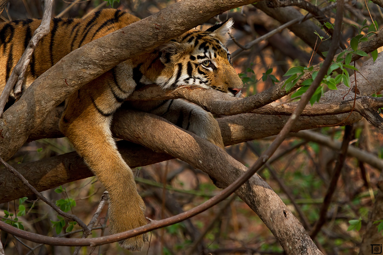 Photograph Tiger On The Tree  by Thejaswi GVN on 500px