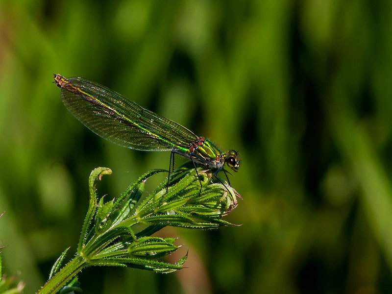 Photograph female banded damselfly by dave blackwell on 500px