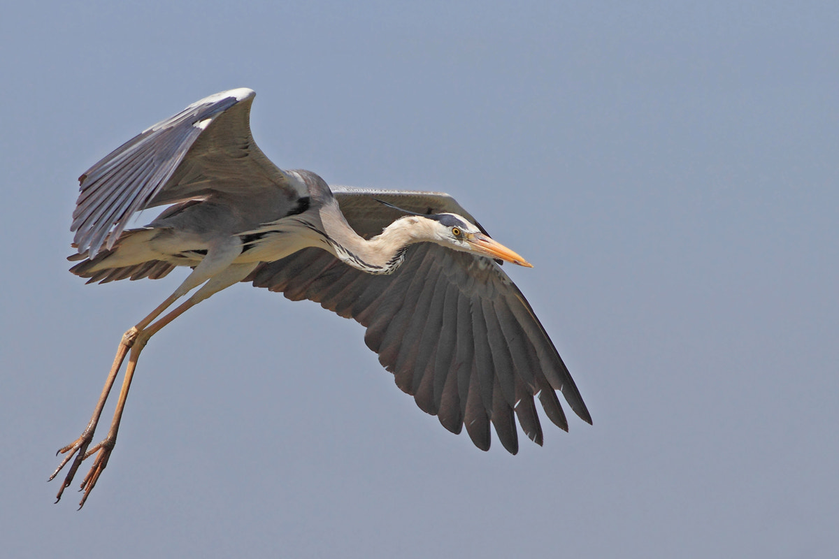 Photograph Great Blue Heron by Yuri Gomelsky on 500px