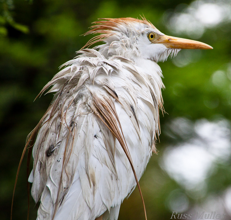 Photograph Wet Cattle Egret by Russ Muller on 500px