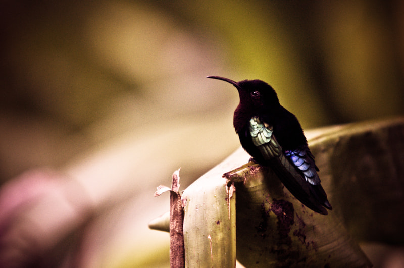 Photograph Colibri by Sébastien Bouvier on 500px