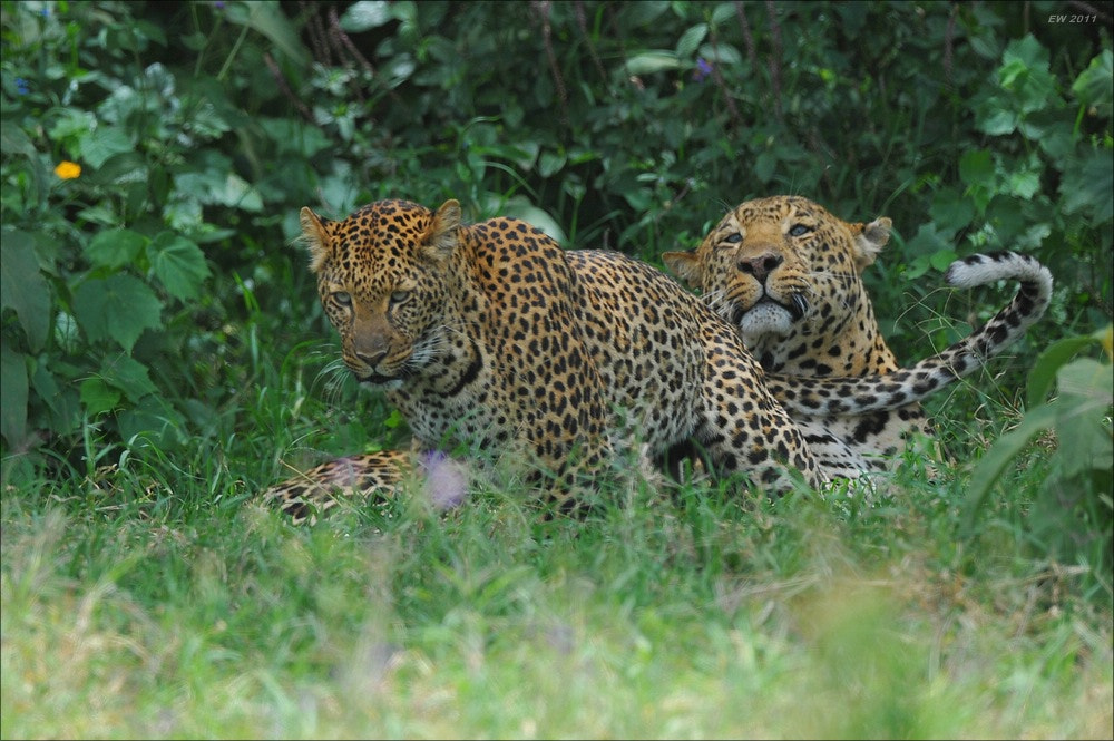 Photograph Mating Leopards by Elmar Weiss on 500px