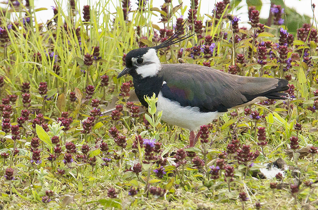 Photograph Lapwing by Andrew Chu on 500px