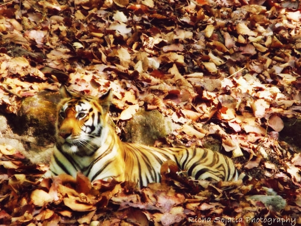Photograph the royal bengal tiger..  by richa  sojatia on 500px