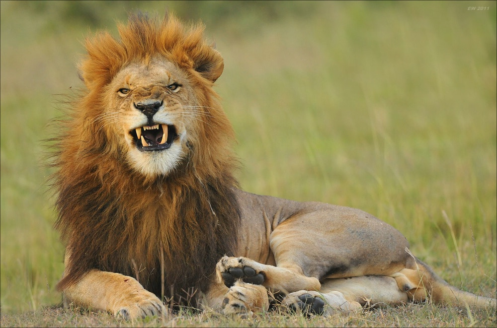 Photograph Lion by Elmar Weiss on 500px