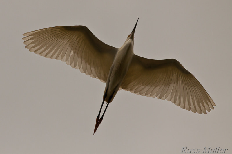 Photograph Great Egret in Flight by Russ Muller on 500px