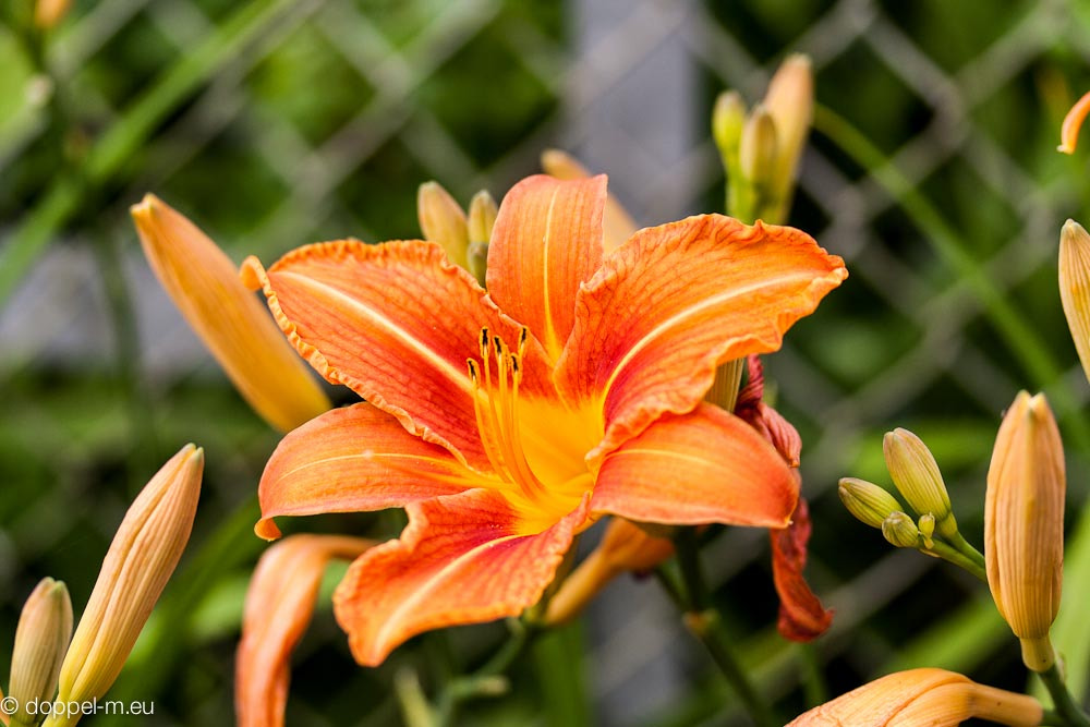 Photograph Orange Lily by Manuela Mo on 500px
