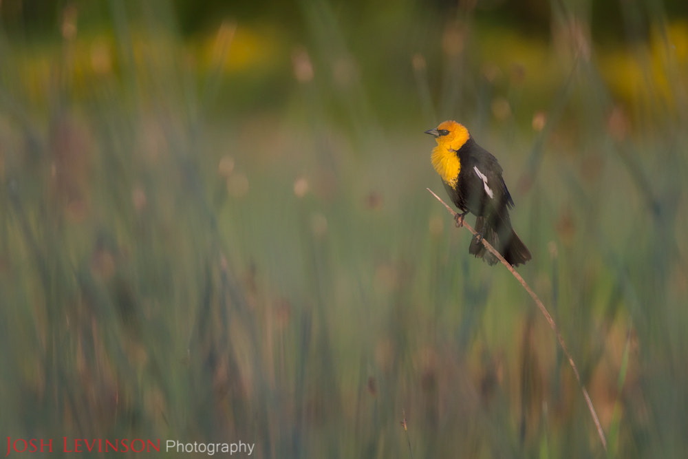Photograph Yellow-headed blackbird through the reeds by Josh Levinson on 500px