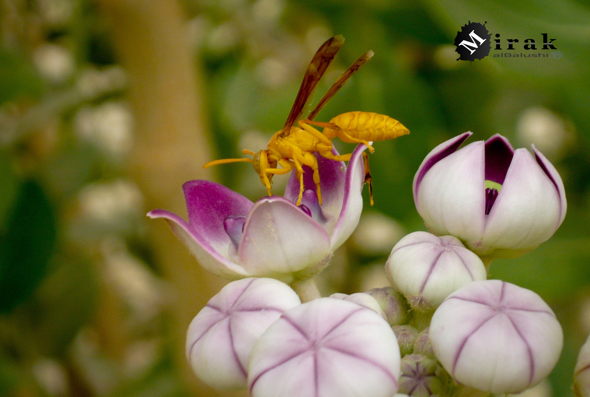 Photograph ......on flower by Mirak alBalushi on 500px