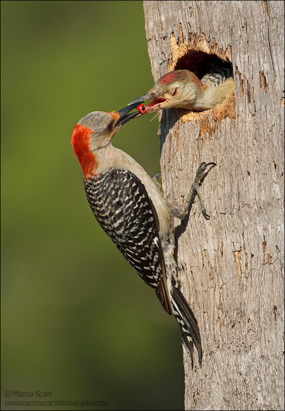 Photograph Berry Nice Breakfast - Red-bellied Woodpeckers by Marina Scarr on 500px