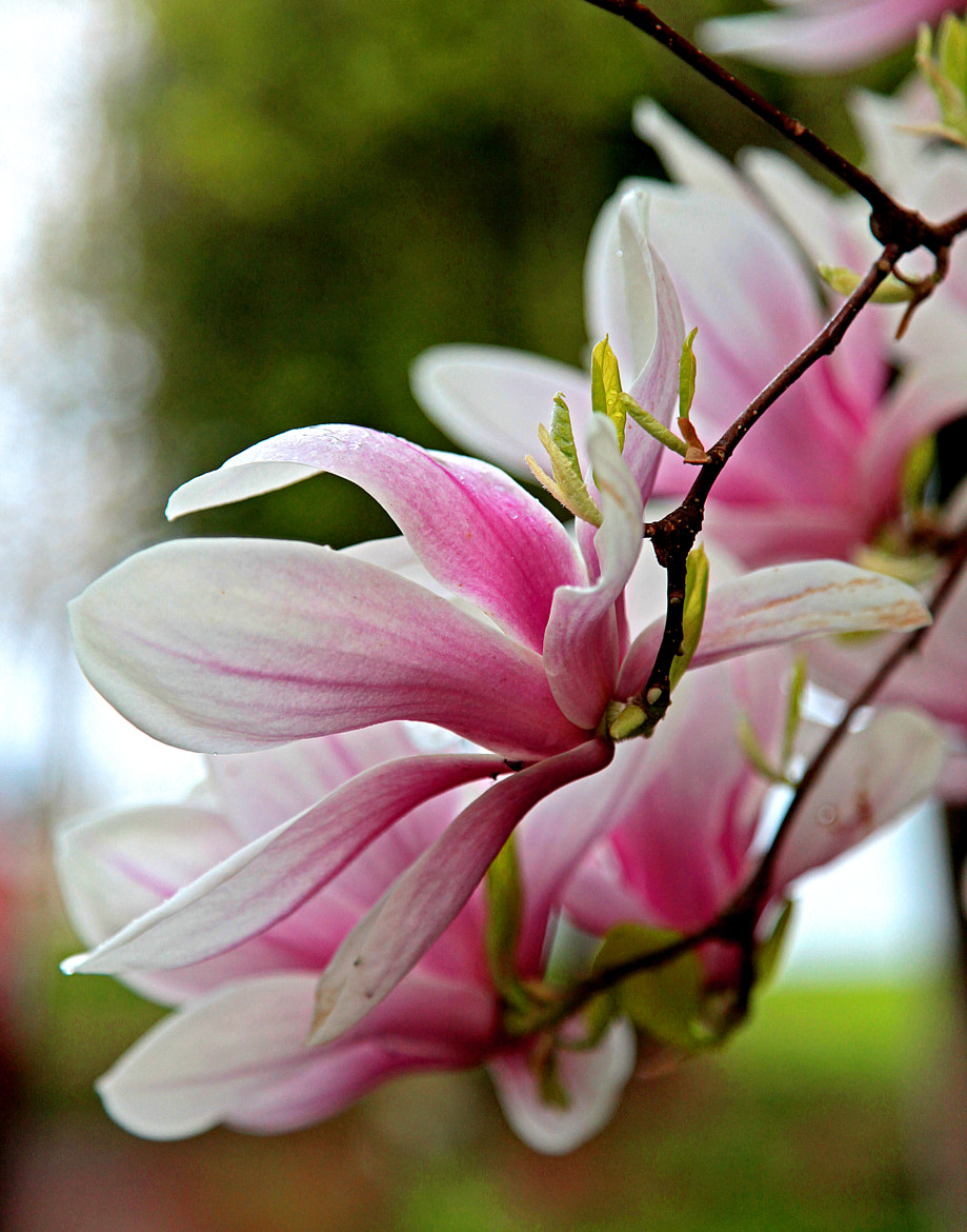 Photograph Magnolias by the Lake by Missi A on 500px