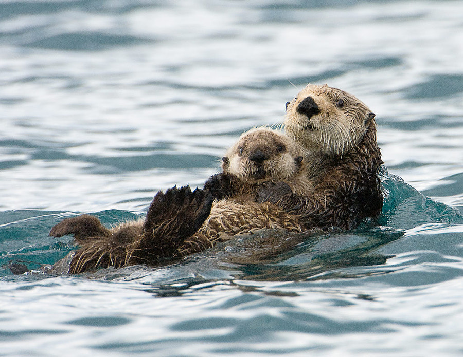 Sea Otter Mother and Baby.  Photo taken in Price WIlliam Sound, Alaska.