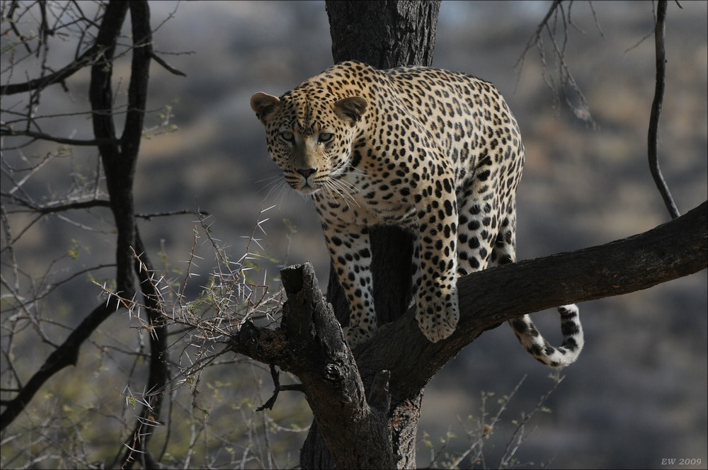 Photograph Leopard on a tree by Elmar Weiss on 500px