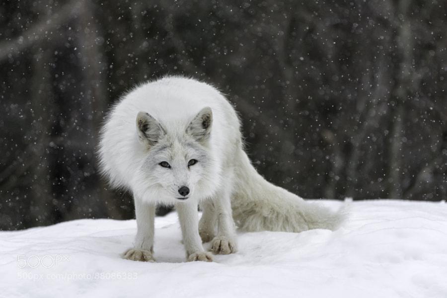 Photograph Arctic fox by Daniel Parent on 500px
