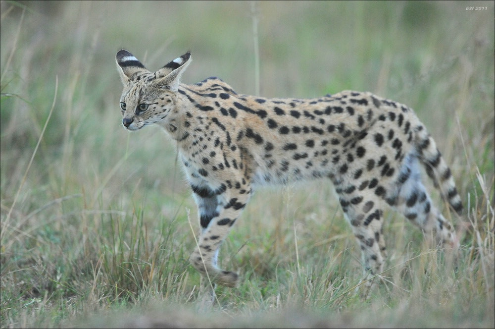 Photograph Serval by Elmar Weiss on 500px