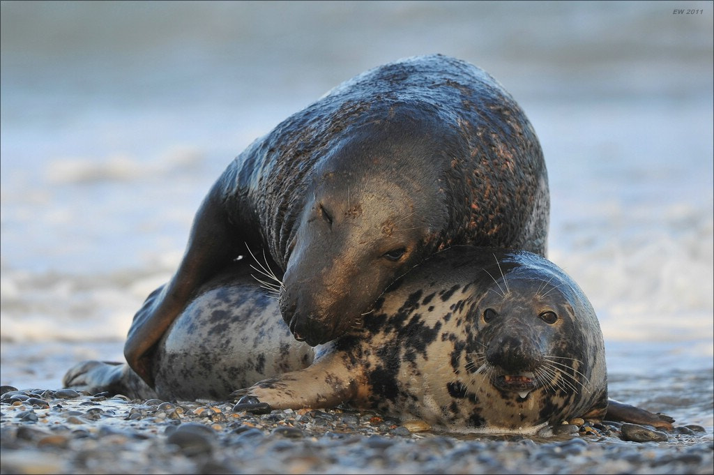 Photograph Mating Grey Seals by Elmar Weiss on 500px