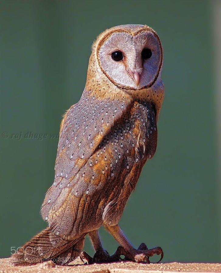 Photograph  Barn owlets by raj dhage on 500px