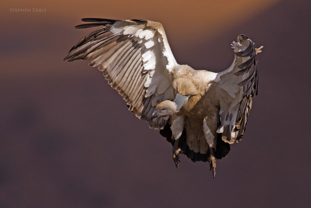 Photograph Cape Vulture by Stephen Earle on 500px