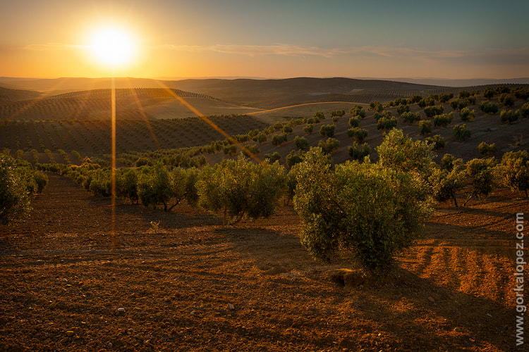 Photograph Gilded olive trees by Gorka Lopez on 500px