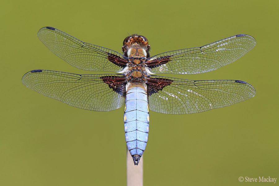 Photograph Male Broad-bodied Chaser (Libellula depressa) by Steve Mackay on 500px