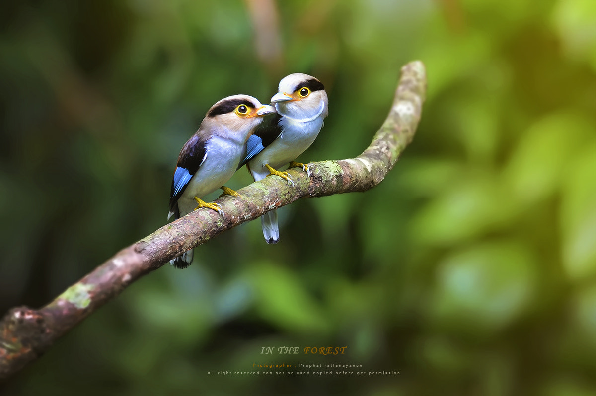 Photograph silver-breasted broadbill by Praphat Rattanayanon on 500px