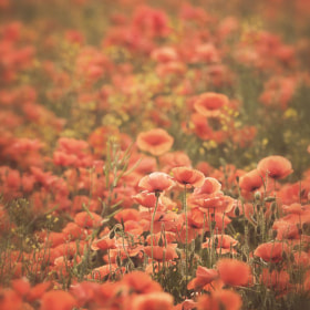 Poppy heaven by Bart Ceuppens (bartceuppens)) on 500px.com
