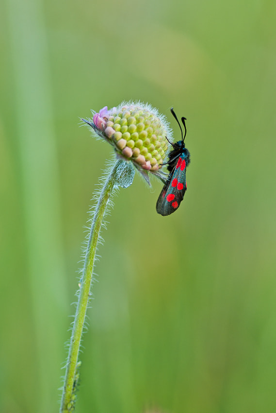Photograph Zygaena filipendulae by CHRISTIAN GUERDER on 500px