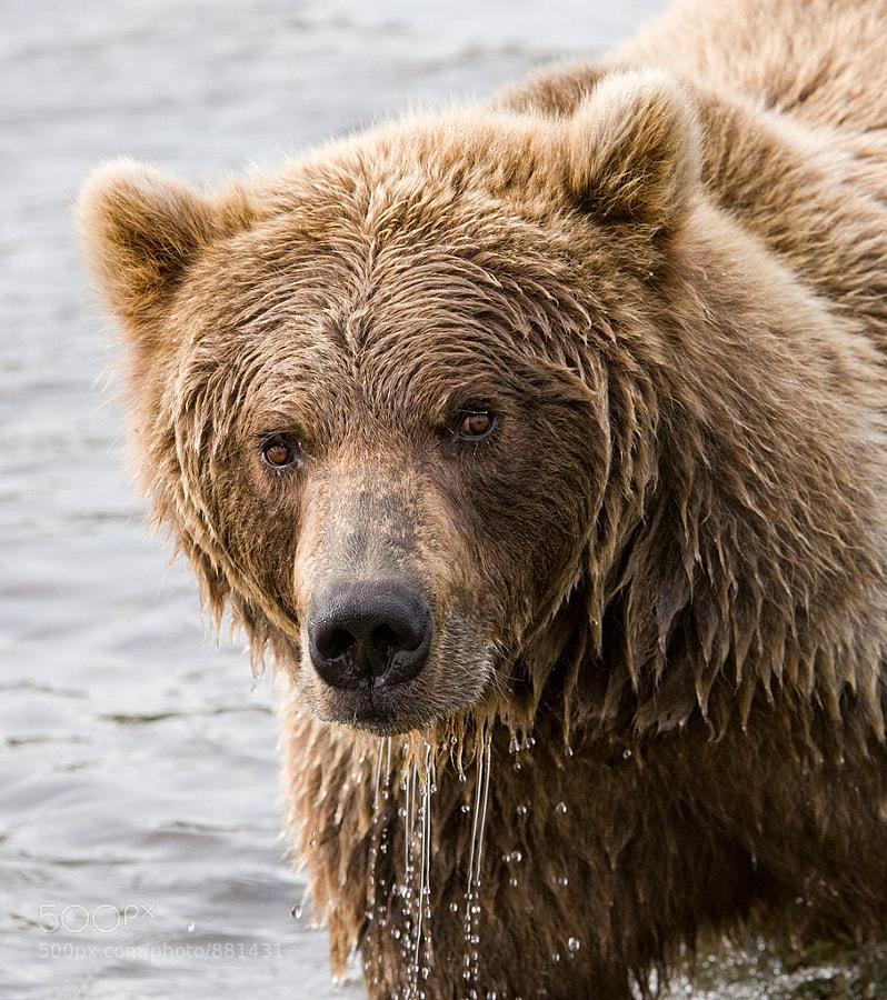 Brown Bear, Katmai