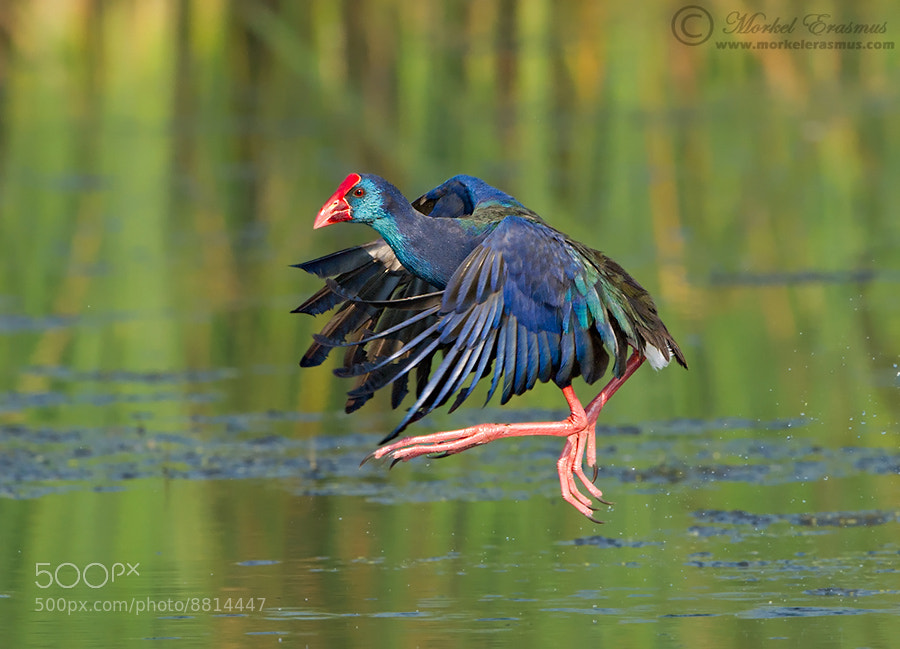 Photograph Purple Gallinule Flight by Morkel Erasmus on 500px