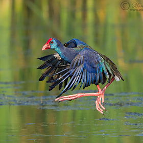 Purple Gallinule Flight by Morkel Erasmus (morkelerasmus)) on 500px.com