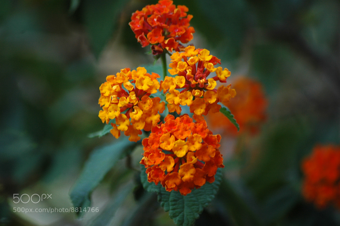 Photograph Lantana by Maria Eugenia Garrahan on 500px