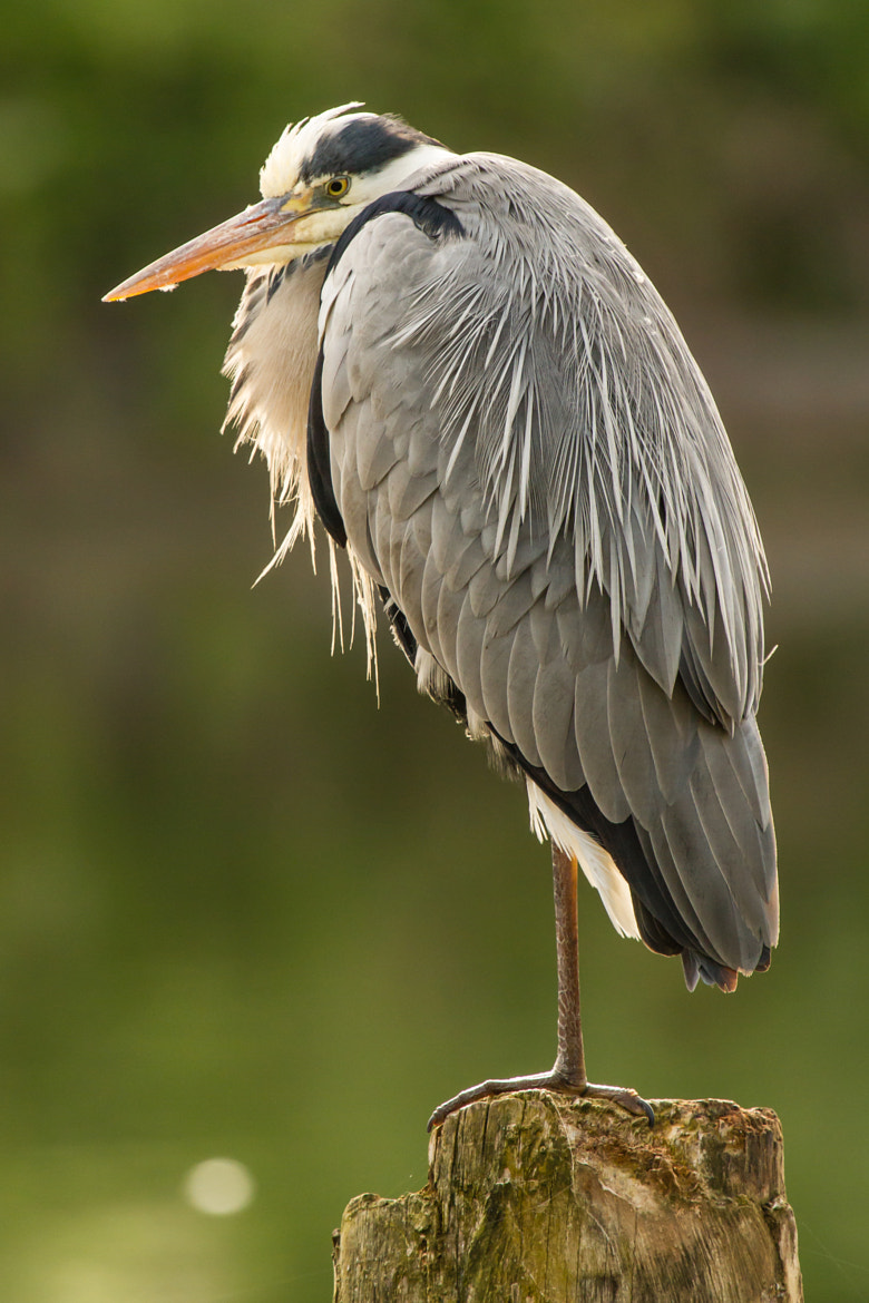 Photograph Grey heron by Markus _ on 500px