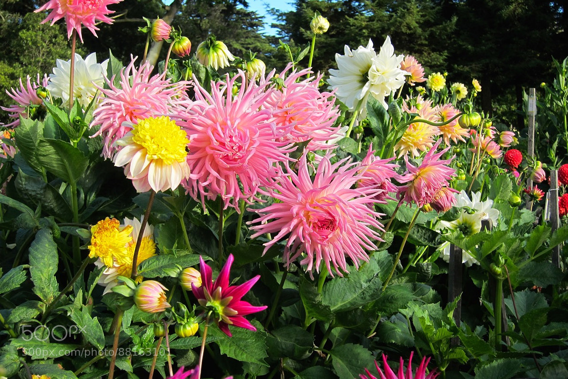 Dahlias Blooming All Around - cover