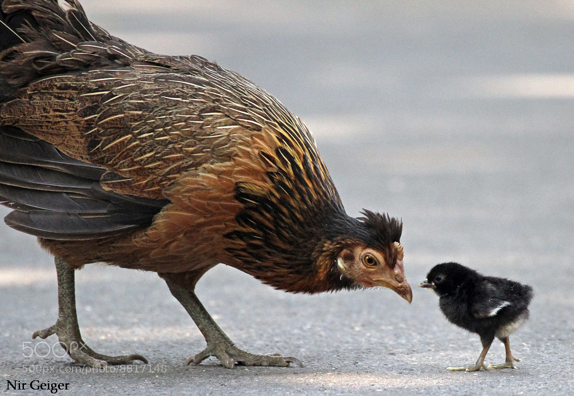 Photograph chick and mama by Nir Geiger on 500px