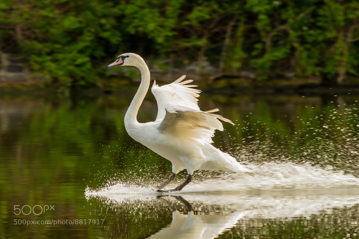 Photograph Surfing Swan by Markus _ on 500px