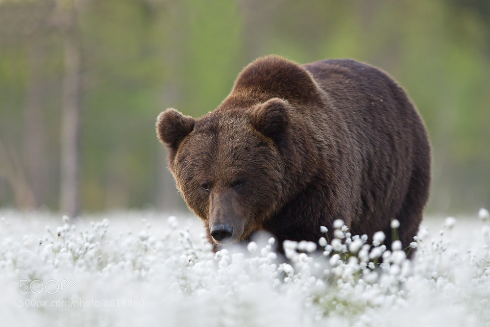 Photograph Brown bear by René Visser on 500px