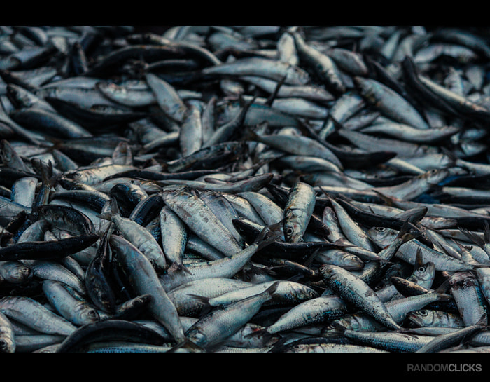 Photograph Sardines by Syam (randomclicks.in)  on 500px