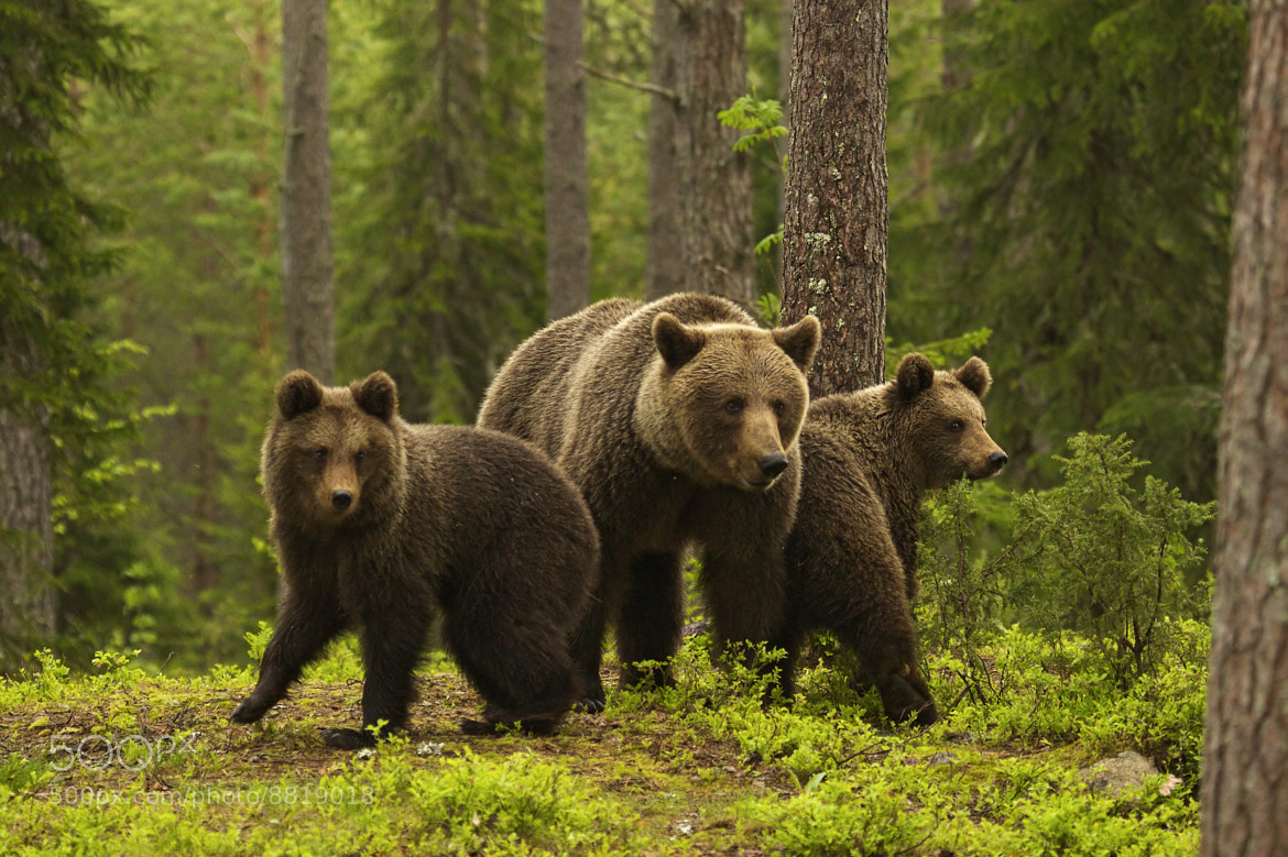 Photograph Bear family by Sylwia Domaradzka on 500px