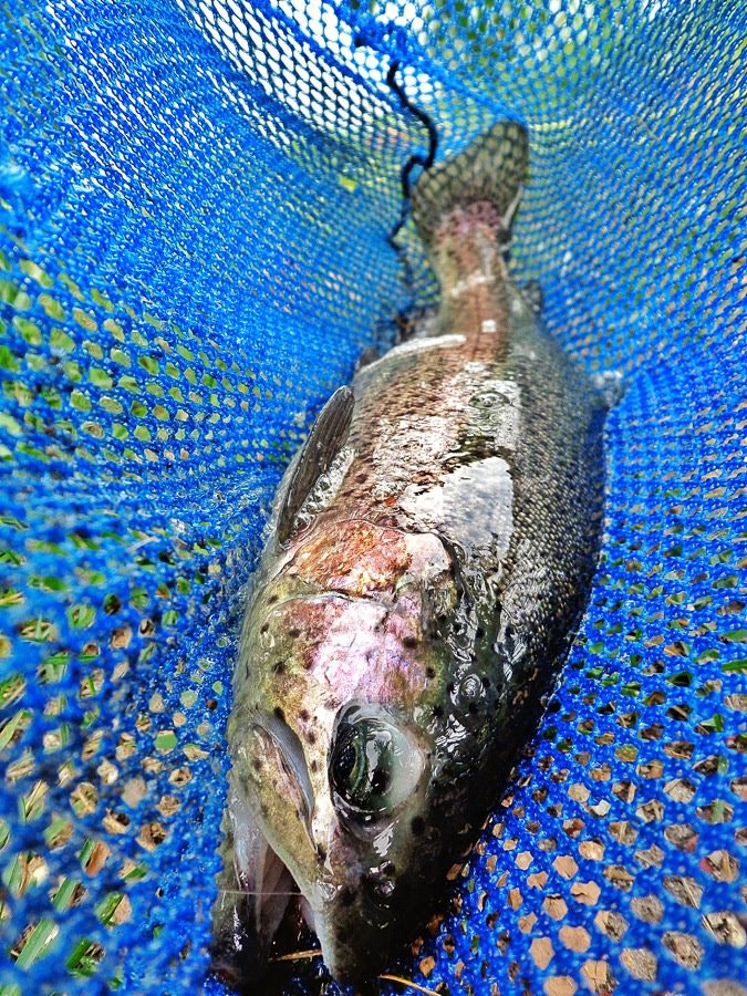 Photograph Catch (Rainbow Trout) by Bo Kyle on 500px