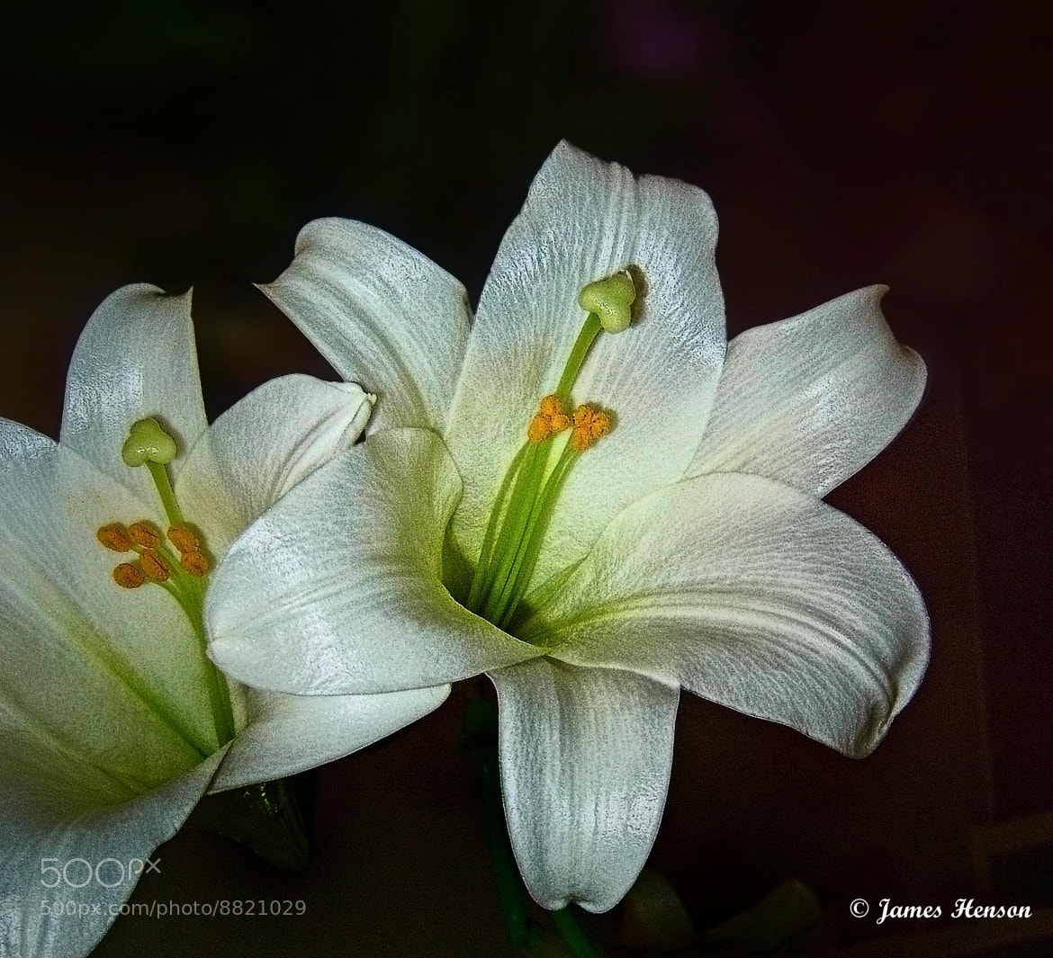 Photograph Easter Lily by James Henson on 500px