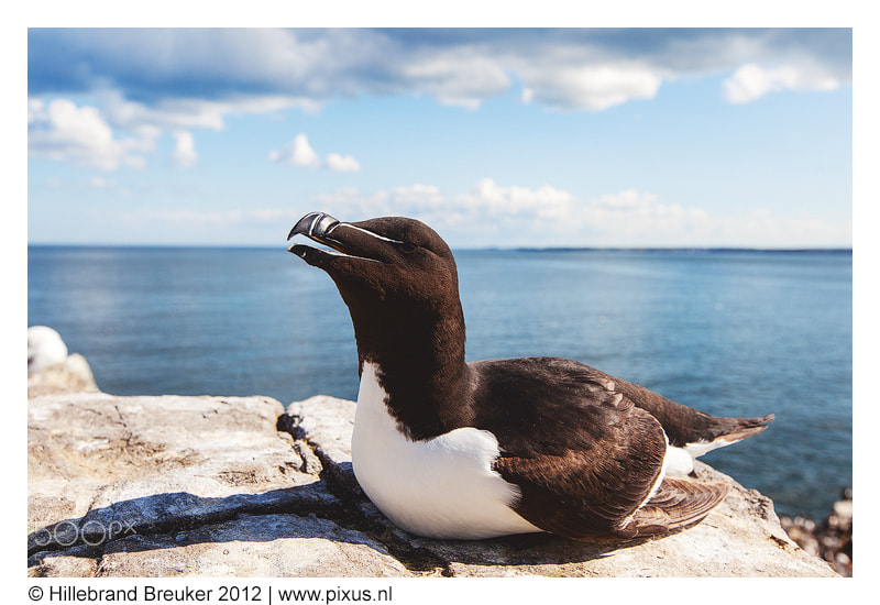 Photograph Razorbill by Hillebrand Breuker on 500px