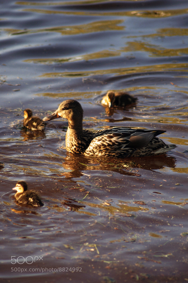 Photograph Ducks by Azra Ferhatovic on 500px