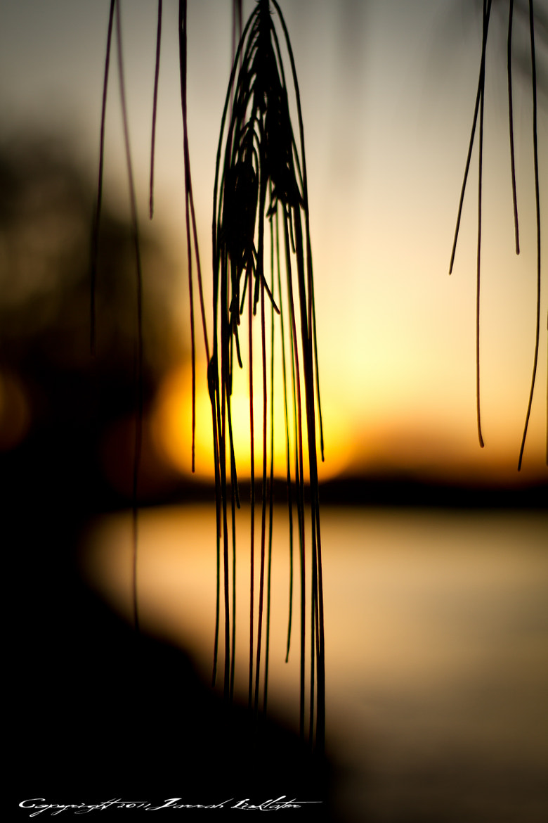 Photograph Drooping Pine Needles by Jarrah Linklater on 500px