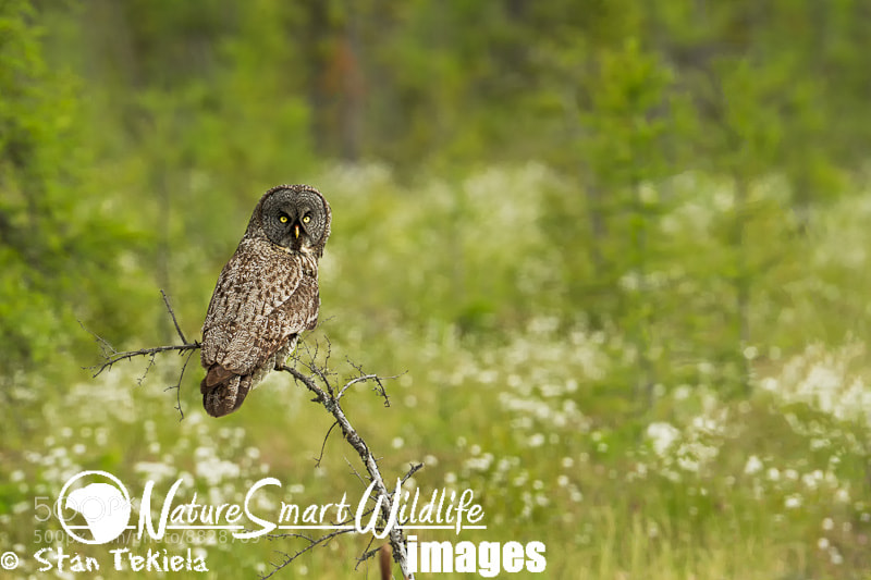 Photograph Great Gray Owl with white flowers by Stan Tekiela on 500px