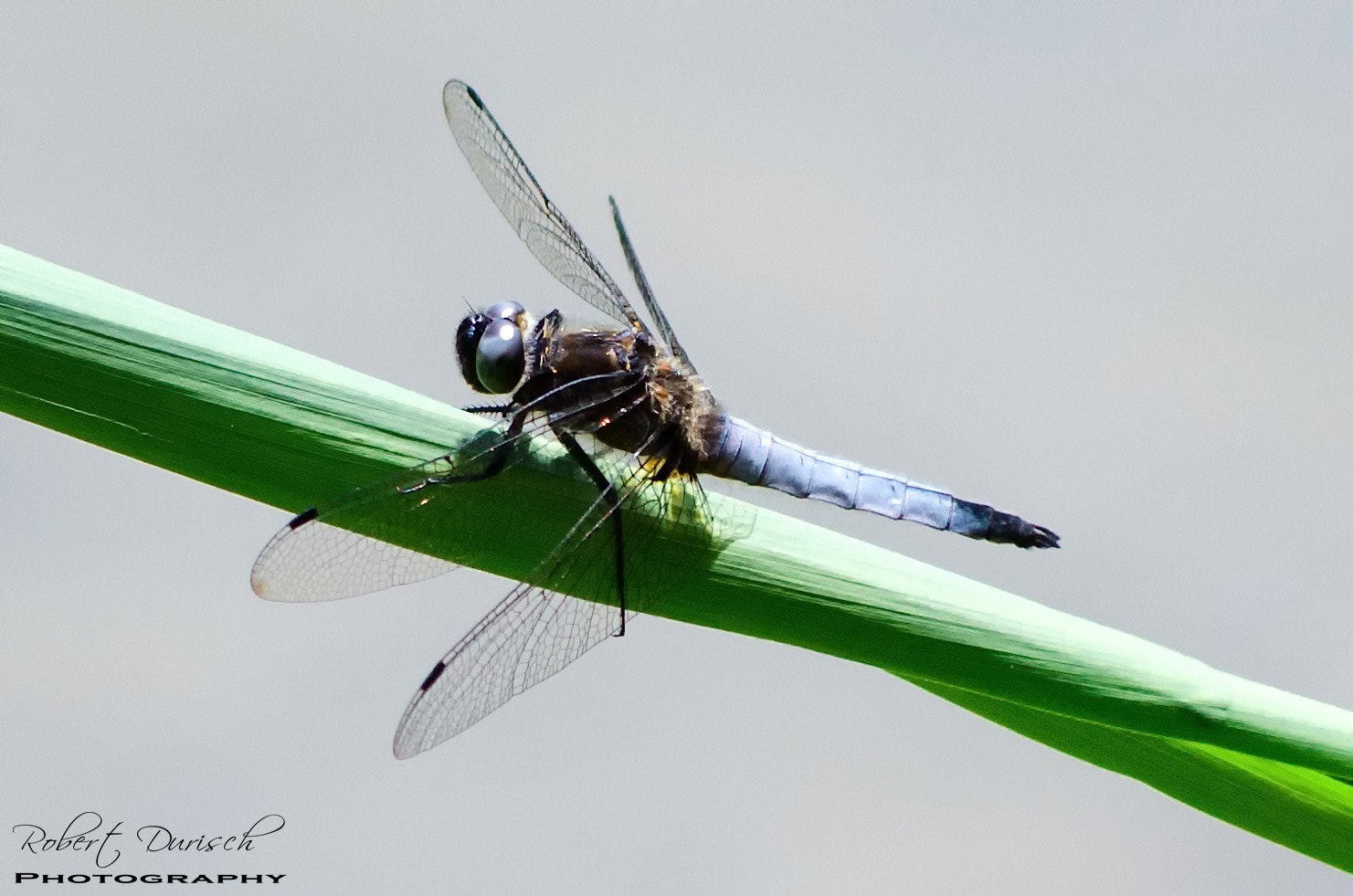 Photograph Dragonfly by Robert Durisch on 500px