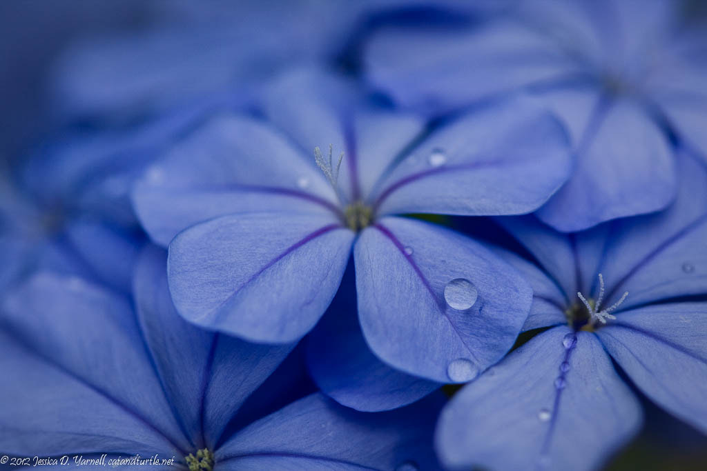 Photograph Plumbago by Jess Yarnell on 500px