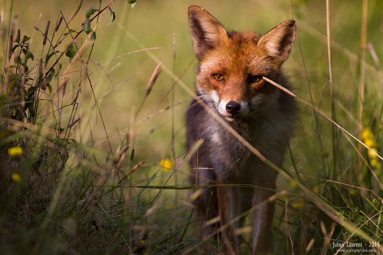Red Fox #04 - En pleine lumière