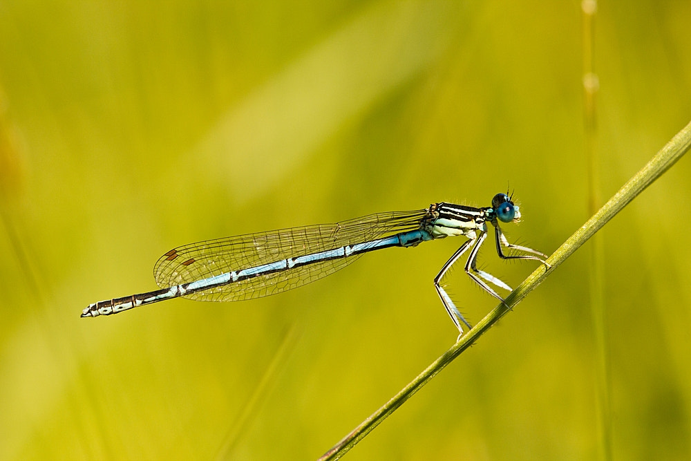 Photograph Damselfly by Martin Florian on 500px