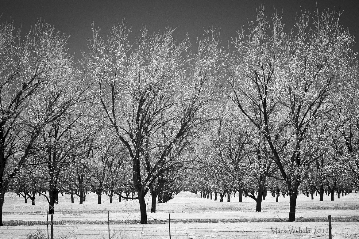 Photograph Pecan Orchard by Mark Wilhelm on 500px