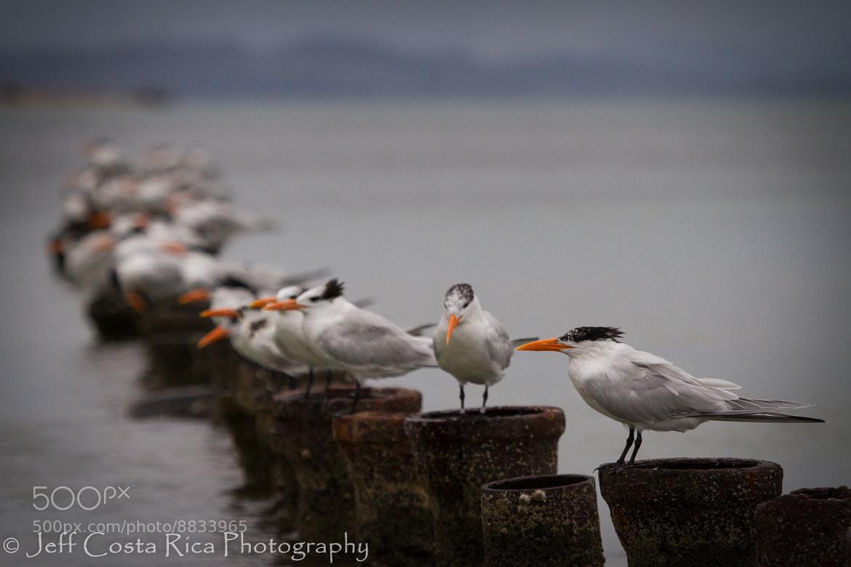 Photograph Royal Tern by Jeffrey Muñoz on 500px